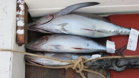 Mise à mort du thon